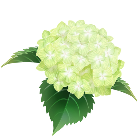 green hydrangea ajisai flower illustration vector  イラスト・ベクター素材