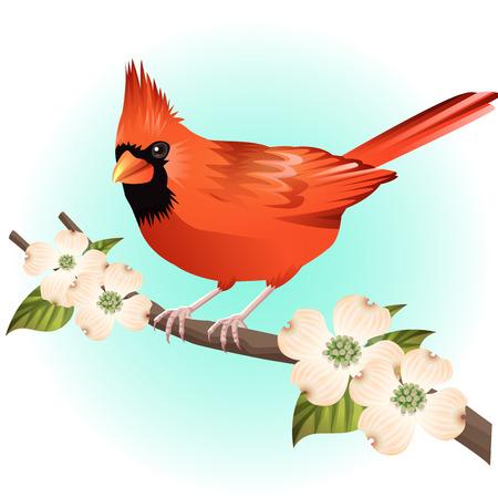 red cardinal bird and dogwood illustration vector