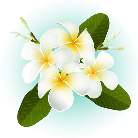 white Frangipani Plumeria tropical flower illustration vector  イラスト・ベクター素材