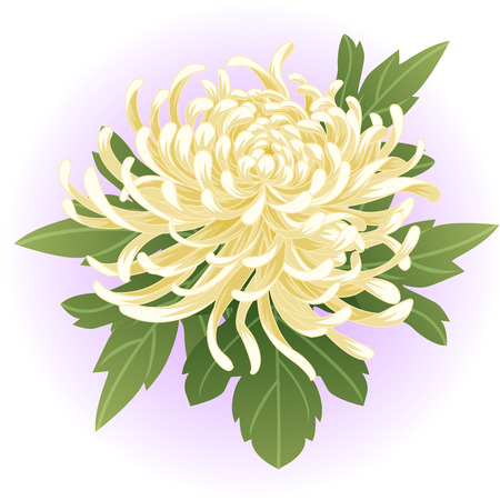 white chrysanthemum flower illustration