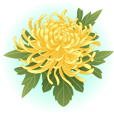 yellow chrysanthemum flower illustration  イラスト・ベクター素材