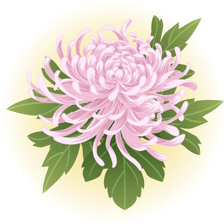 violet pink chrysanthemum flower illustration