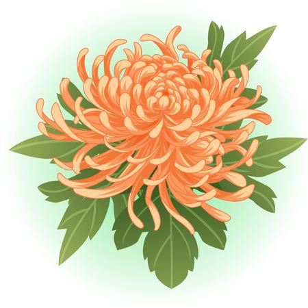 オレンジ色の菊の花イラスト