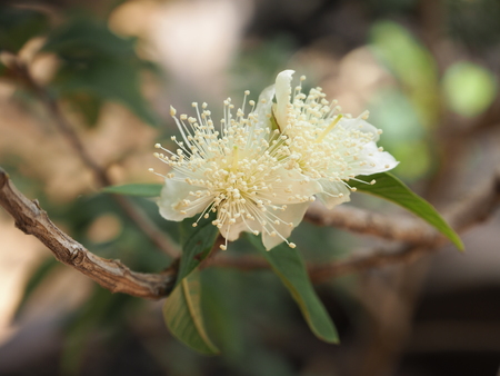 white guava flower photograph