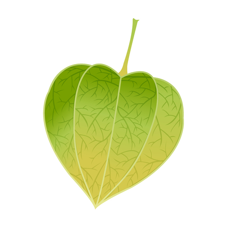 中国の緑のランタンの花植物イラスト 写真素材 - 65862780