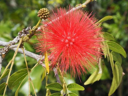 Red Head Powder Puff flower photograph