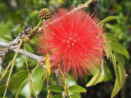 powder puff: Red Head Powder Puff flower photograph