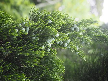 japanese pine photograph