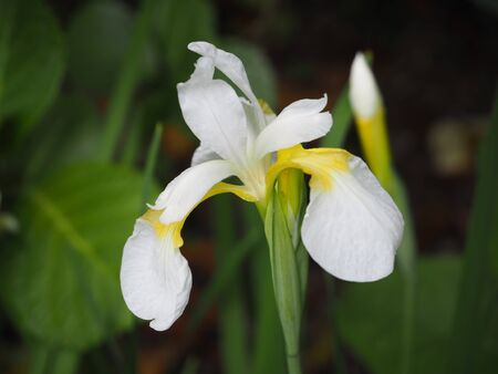 white japanese Iris flower photograph Stock Photo
