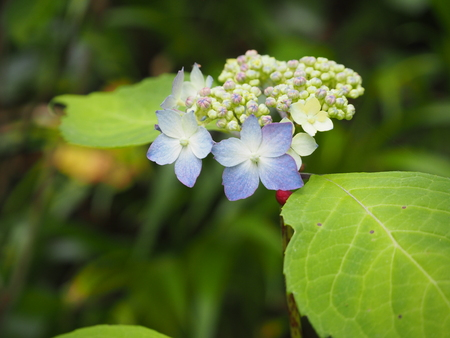 japanese hydrangea flower photograph Stock Photo