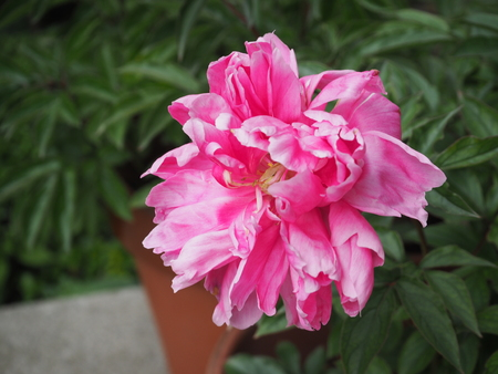 pink peony flower photograph