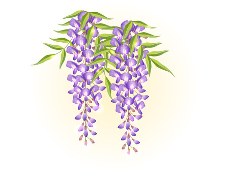 violet lavender wisteria flower spring background illustration vector  イラスト・ベクター素材