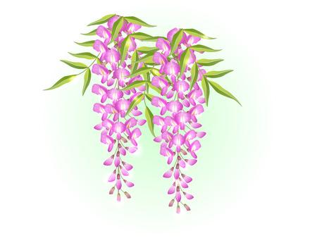 Pink wisteria flower spring background illustration vector Ilustração