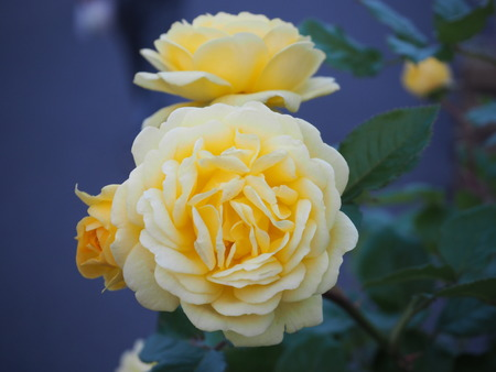 yellow rose flower japan photography 写真素材