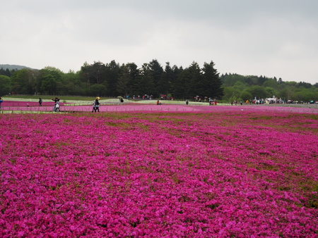 pinkmoss flower field japan photography Stock Photo