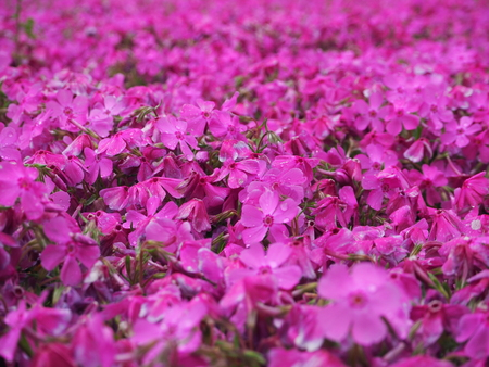 pinkmoss flower japan photography 写真素材