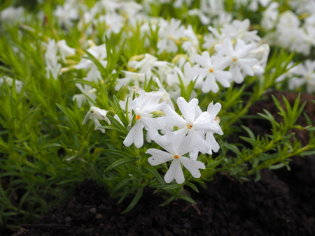 white pinkmoss flower japan photography