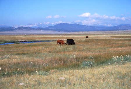 sierras: Cows in the sierras