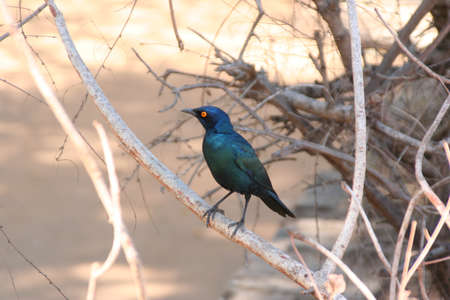south african birds: South African uccelli Archivio Fotografico