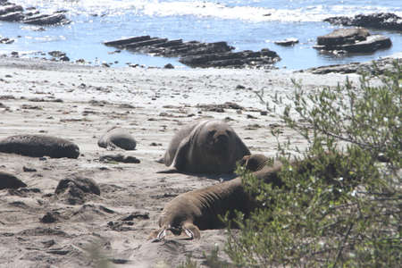 ano: Elephant Seals at Ano Nuevo