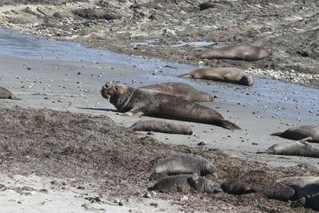 nuevo: Elephant Seals at Ano Nuevo