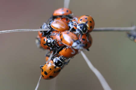 oakland: Close up of ladybugs in oakland hills, California