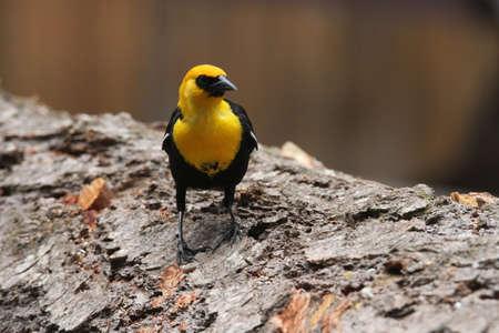 klamath: View of yellow headed blackbirds at klamath reserve Stock Photo