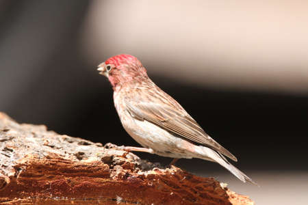 wildlife reserve: Red finch at wildlife reserve Stock Photo