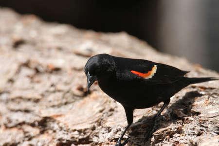 winged: Red winged black bird