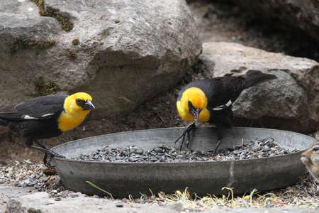 headed: View of yellow headed blackbirds at klamath reserve Stock Photo