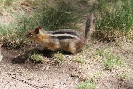 wildlife preserve: View of chipmunks at bend wildlife preserve, bend, oregon