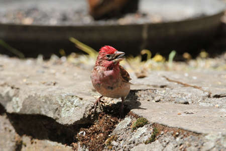 reserve: Red finch at wildlife reserve Stock Photo