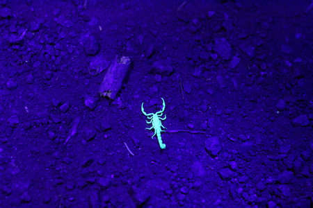 ultraviolet: View of scorpions in the night