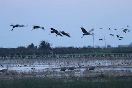 View of sandhill cranes in nature