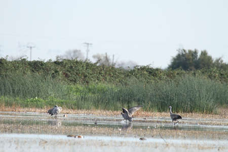 woodbridge: View of sandhill cranes in nature