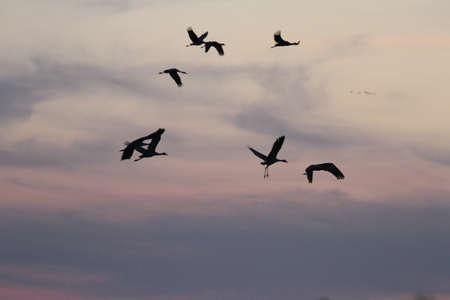View of sandhill cranes in nature