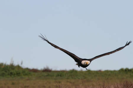 Bald eagle flying outdoors in the wild