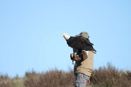 sequoia:  Bald eagle flying outdoors in the wild