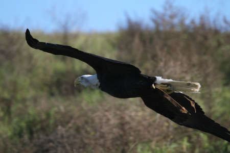 sequoia: Bald eagle flying outdoors in the wild Stock Photo