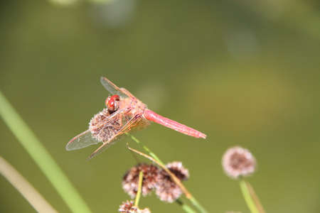 Dragon flies flying in the wild Stock Photo