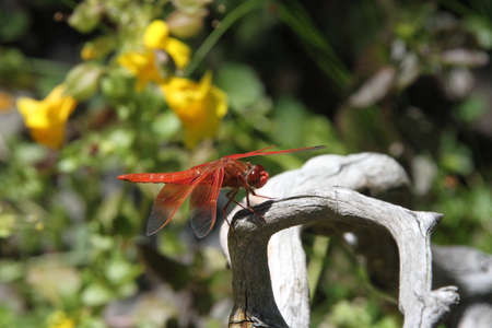 nectar: Dragon flies flying in the wild Stock Photo