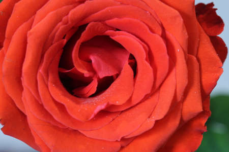 Close up macro shot of a rose Foto de archivo - 110977859