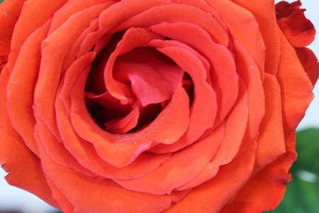 Close up macro shot of a rose
