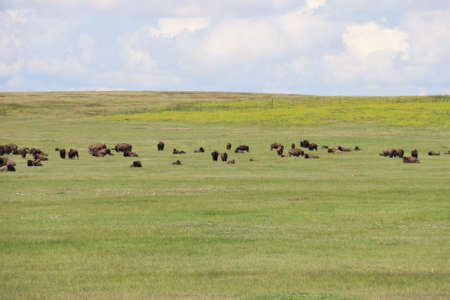 View of Bison in  Badlands national park in South Dakota Stock Photo