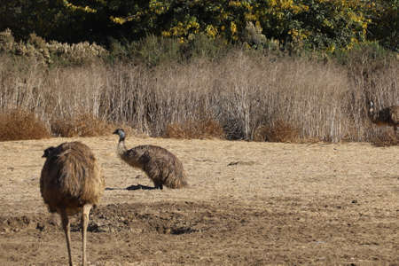 View of Ostrich and Emu  in Solvang, California Imagens