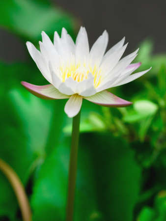 white lotus flower: White lotus flower with blurry green background.