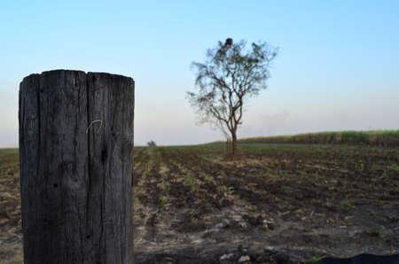 cinnamomum: Tree