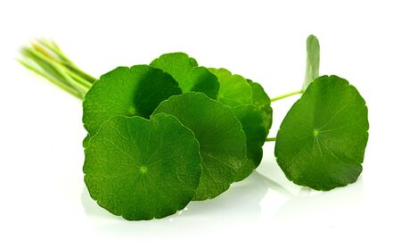 asiatic leaf isolated on white background Stock Photo
