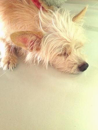 white dog: Dog sleeping happy