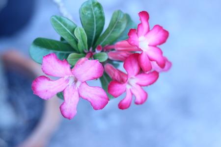 desert rose: desert rose flower in garden